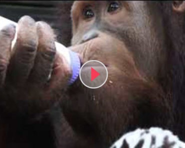 orangutan adopts tiger cubs