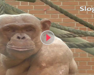 Chimp Looks Different