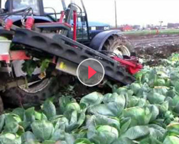 cabbage harvest machine