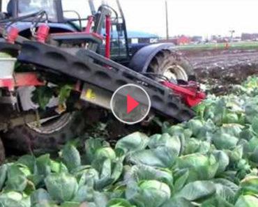 cabbage harvest machine
