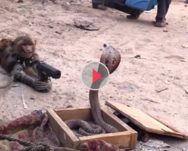 monkey vs king cobra