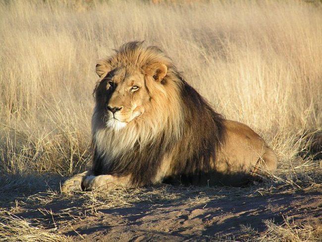 Lion Poacher