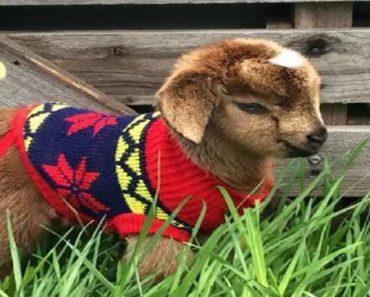 charming goats